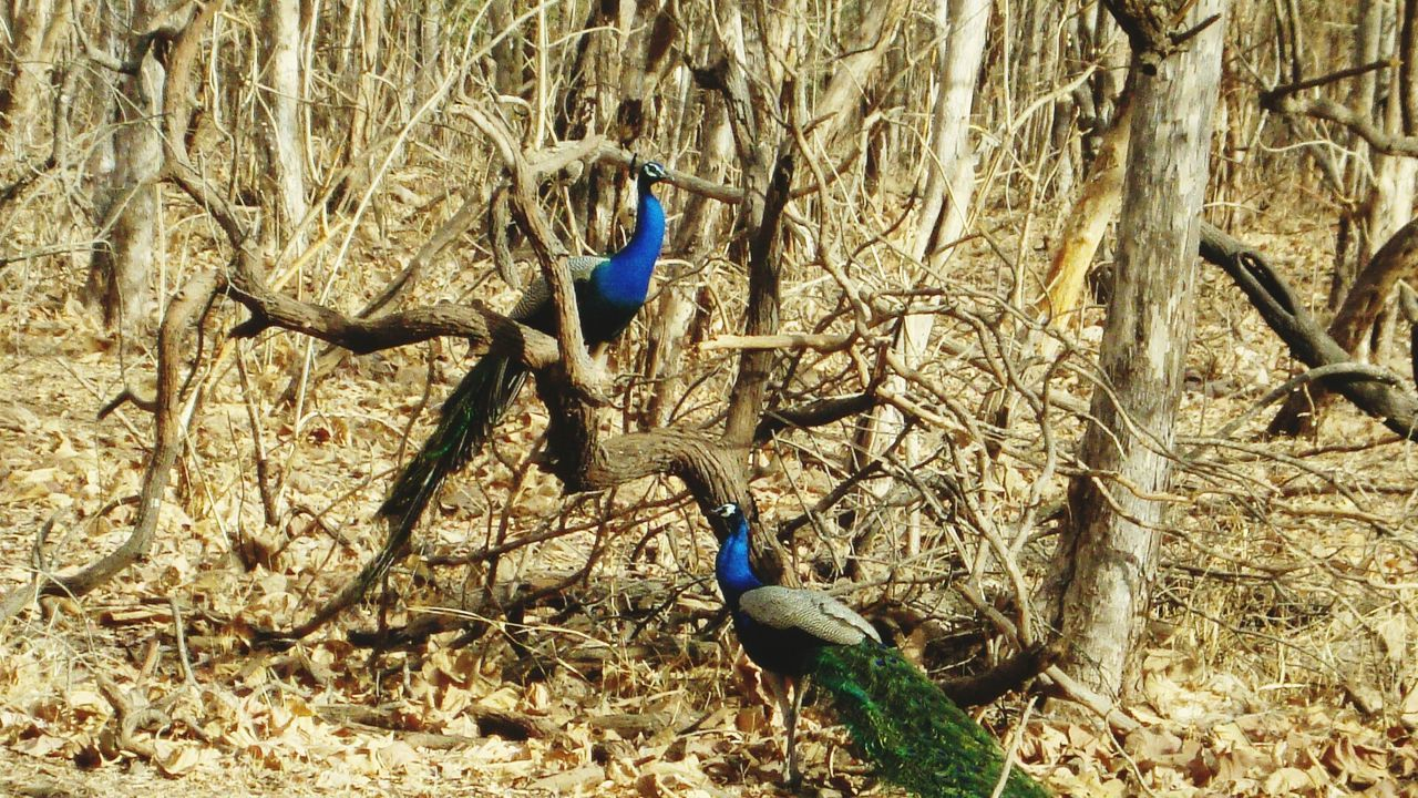 National Bird Of India Peacock Peacock Blue Bird Animal Themes Day Outdoors Nature Beauty In Nature Gir National Park Nature_collection