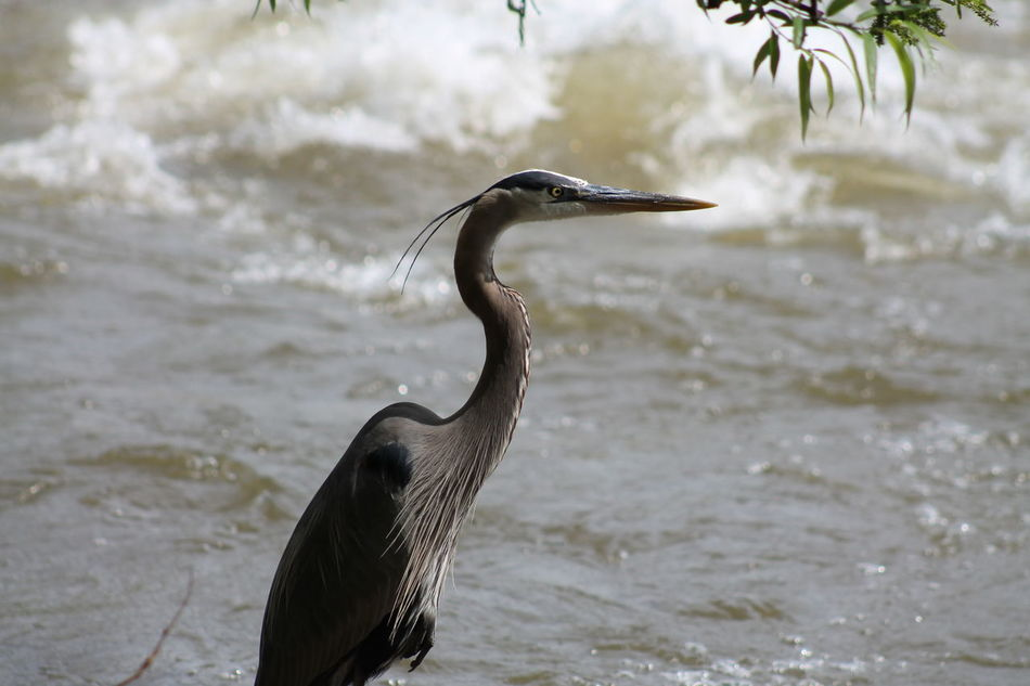 For the Love of Birds Birding Birds Blue Heron Herons Herons And Ospreys Love Of Birds Love Of Water River Life Wildlife