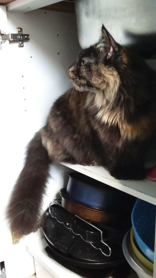 Animal Themes One Animal Pets Domestic Cat Domestic Animals Cat Feline Indoors  Home Curiosity Maine Coon Under The Sink In The Cupboard Cats In Random Places Beautiful Cat Pretty Cat One Cat Bushy Tail
