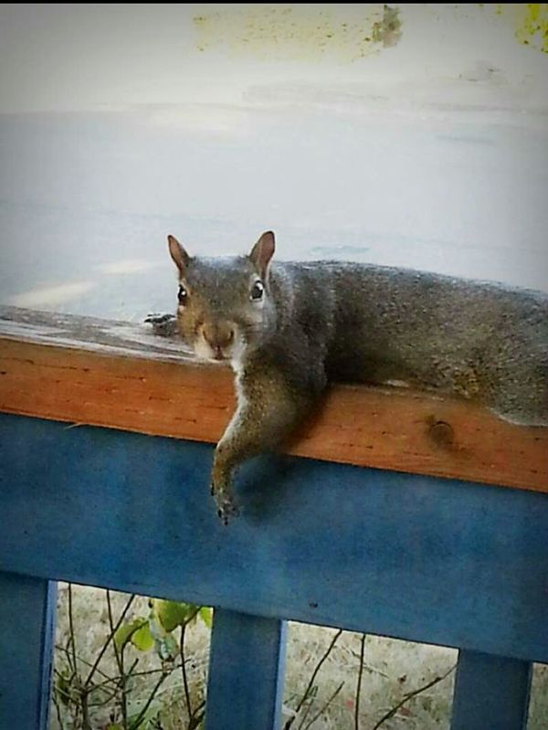 Squirrel Hot Day Unexpected Visitor Front Porch Animal_collection Animal Photography