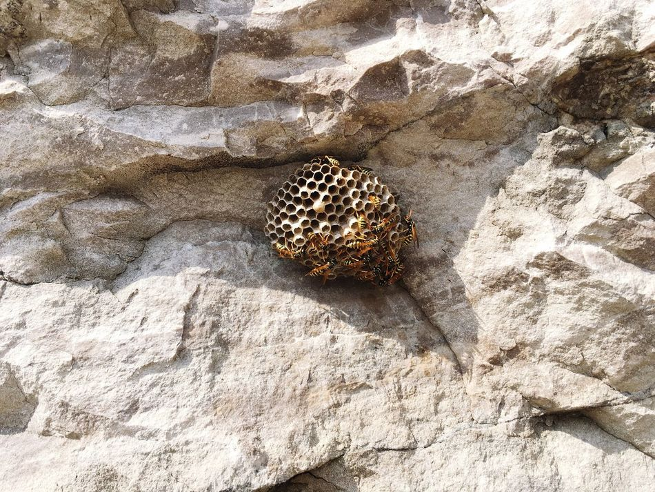 Wasp nest Black And Yellow  Insect Rock Nature Insects  World Of Nature Animal Stinger Hive Wasps Nest Wasp At Work Nest Wasp Nest Wasps Wasp Life
