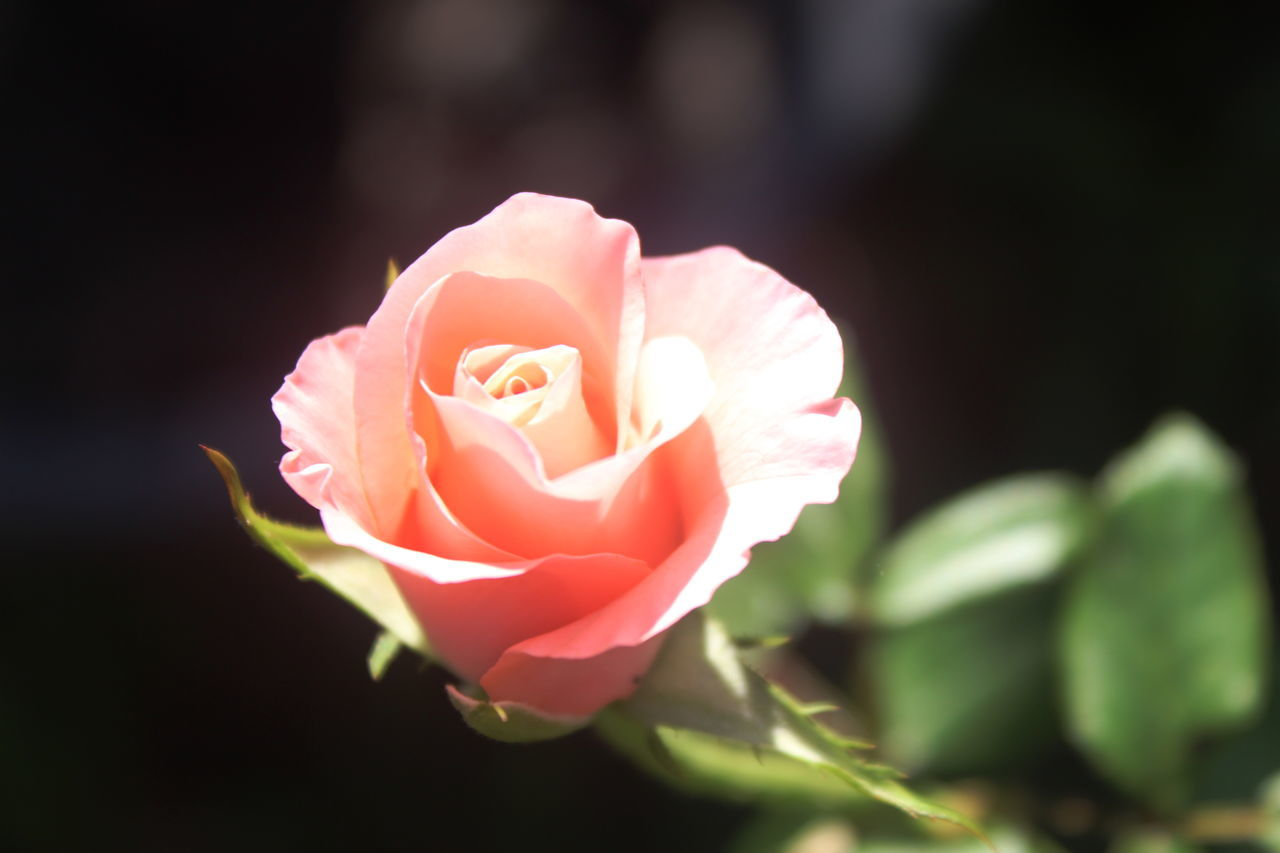 Beauty In Nature Close-up Day Flower Flower Head Focus On Foreground Fragility Freshness Growth Nature No People Outdoors Pale Pink Petal Pink Color Plant Rose - Flower Rose Collection Rose Color Rose Colour Rose Garden Rose Gardens Rose♥