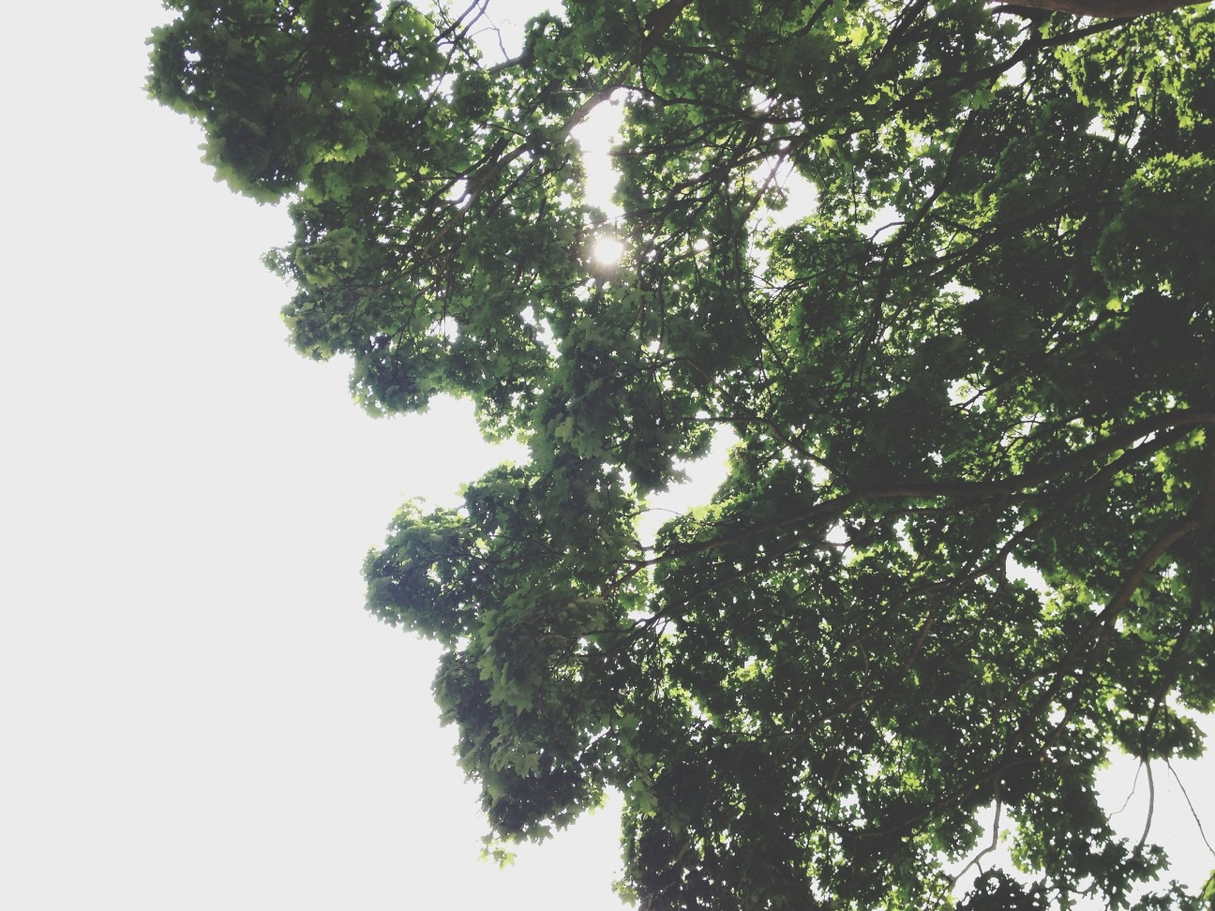 tree, low angle view, branch, growth, clear sky, nature, tranquility, green color, beauty in nature, leaf, day, no people, outdoors, sky, sunlight, directly below, scenics, green, lush foliage, tranquil scene