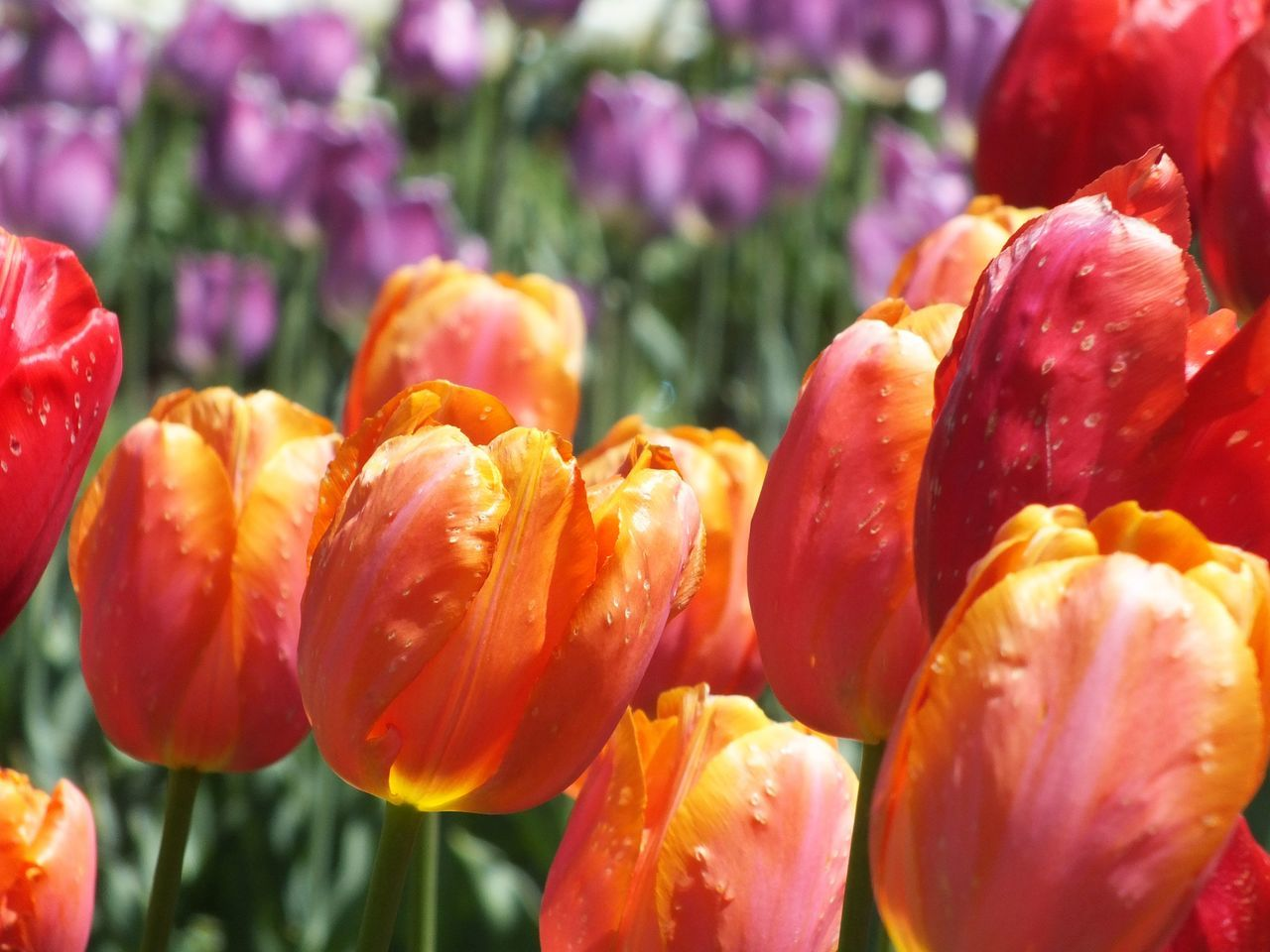 Beauty Of Flowers Colorful Flowers Colorful Tulips Floral Floral Perfection Floral Photography Floralphotography Flower Collection Flowers Flowers, Nature And Beauty Flowers,Plants & Garden Nature Nature Photography Orange Orange Flower Orange Tulips Purple Tulips Spring Spring Flowers Springtime Tulip Fields Tulip Garden Tulips Colour Of Life Tulips In The Springtime