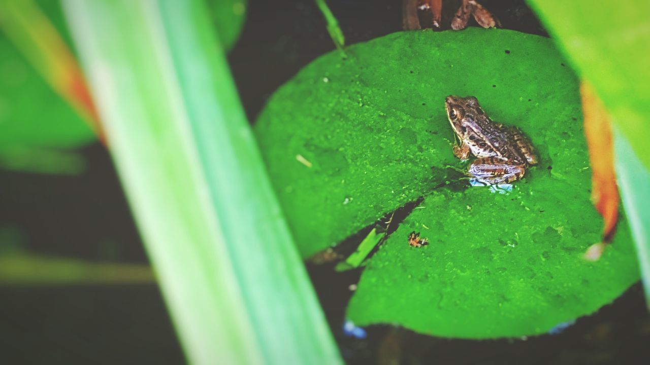 Taking Photos Overlooked Beauty Nature Is Art Week On Eyeem Pond Life Aquatic Creatures ManmadeVsNature Porch Therapy Front Porch - Garden View Pond Aqua Garden Nature On Your Doorstep Nature's Diversities Natureporn Fowlers Toad Amphibian Amphibious Lilly Pad Colour Of Life