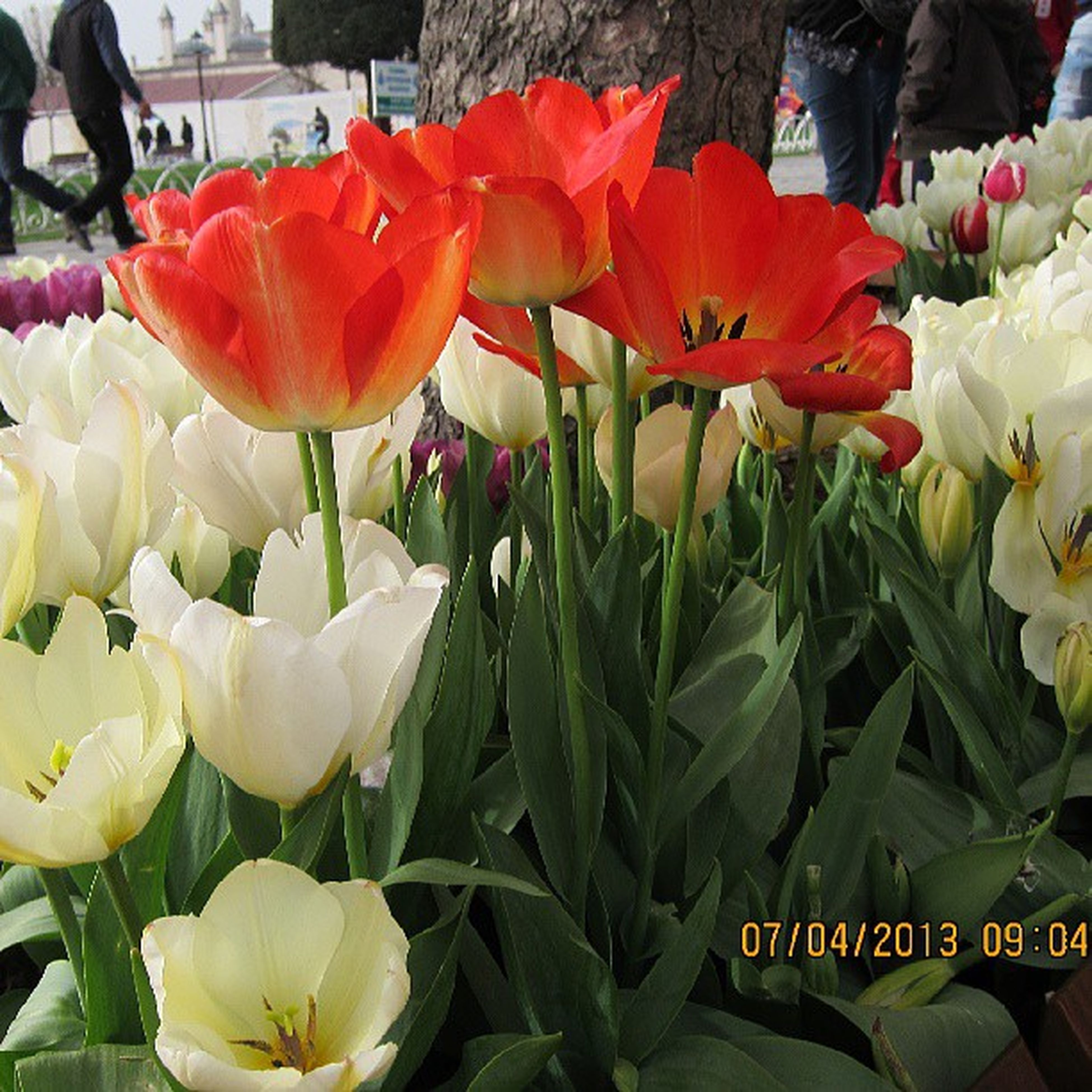 flower, freshness, petal, fragility, flower head, tulip, growth, beauty in nature, abundance, plant, nature, blooming, variation, close-up, high angle view, multi colored, day, red, outdoors, no people