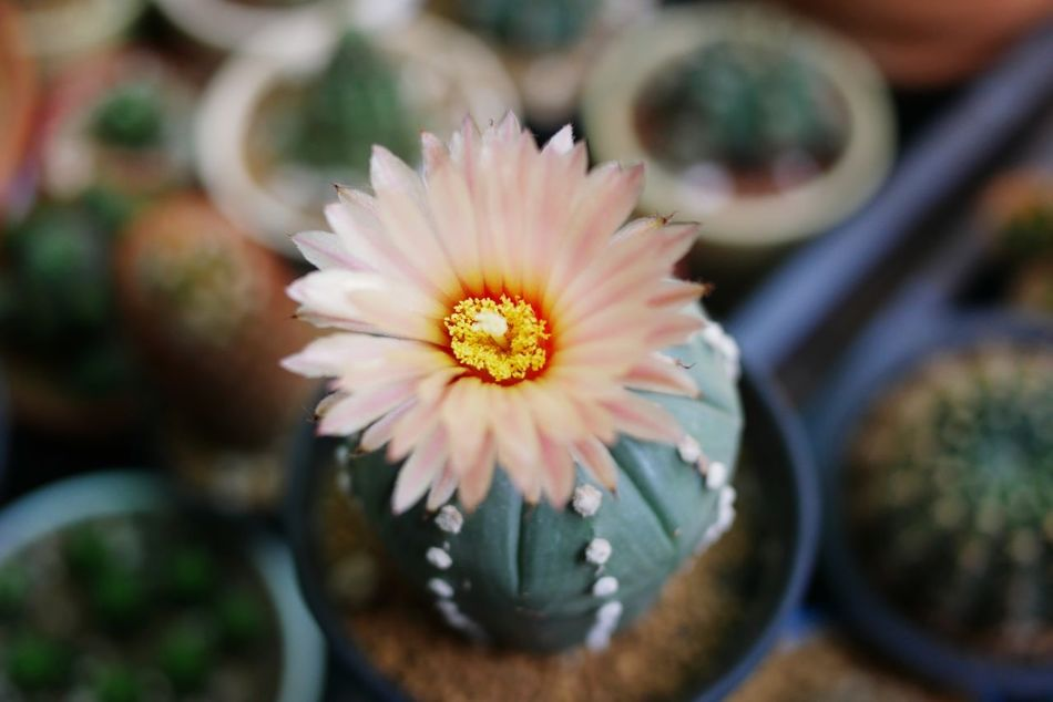 Flower Flower Head Beauty In Nature Nature Close-up Day Light Pink Color Cactus Cactus Flower Cactuslover Cactus Garden Cactusflower