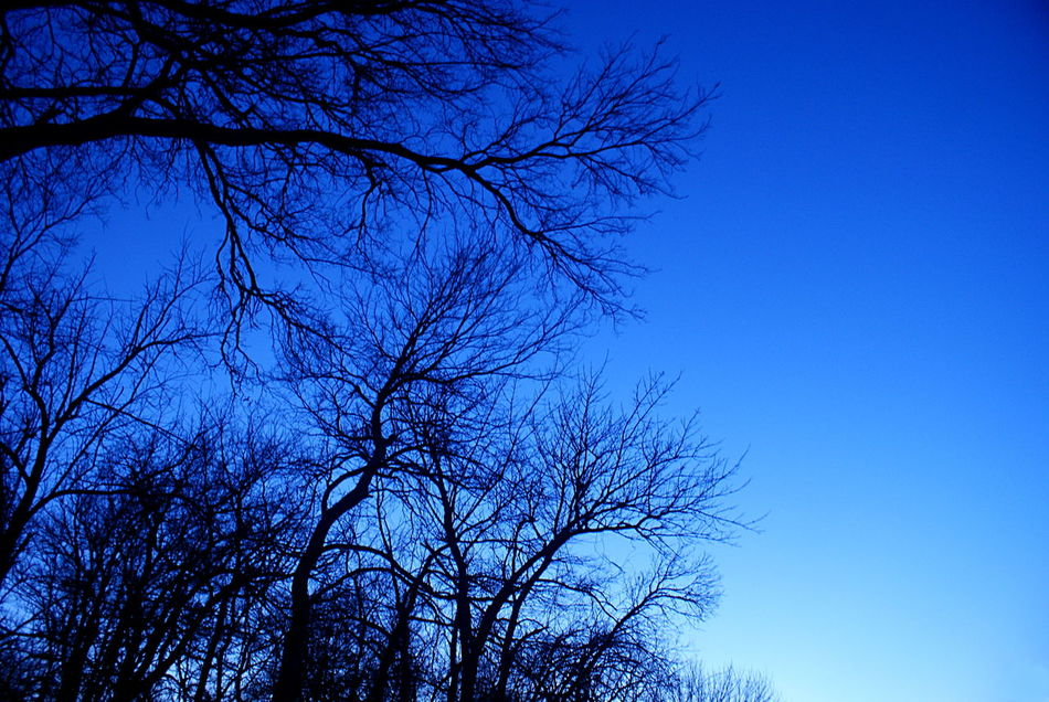 Dark bare branches of trees in winter are silhouetted against a deep blue evening sky. Bare Branches Blue Blue Hour Blue Sky Clear Sky Evening Evening Light Looking Up Nature Night No People Silhouette Trees Winter