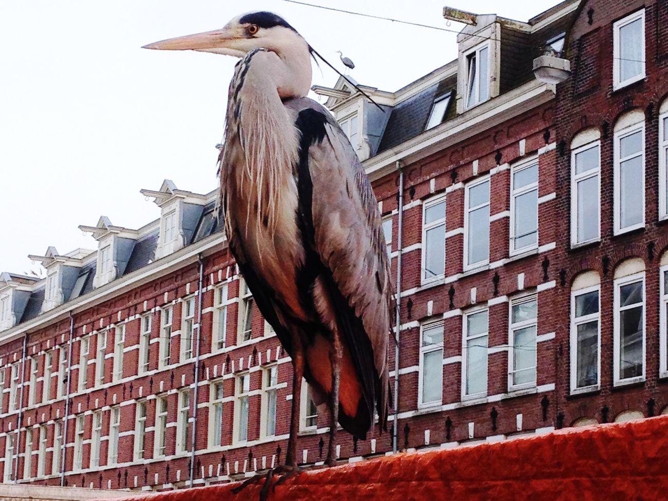 Amsterdam Market Reiger Albert Cuyp Canals Birds Egret Attitude Fish