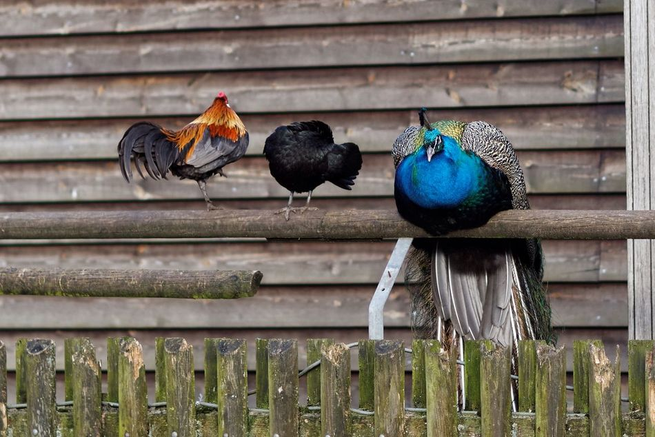 Tough Decisions What To Choose? Hiding Rooster Chicken Peacock Try To Be At Ease From My Point Of View Dutch Landscape kip zonder kop Loosing My Head
