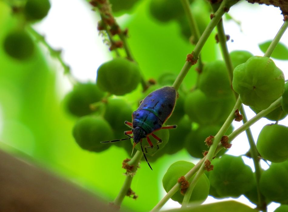 Blue beetle Blue Beetle Close-up Fruit Insect Insect & Plant No People Selective Focus Zoology