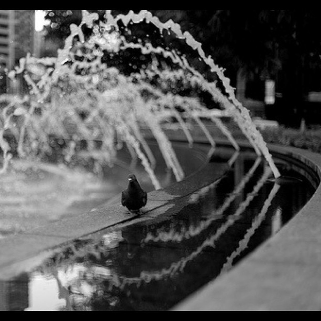 #nyc #manhattan #newyork #newyorkcity #pigeon #columbus #circle #columbuscircle #fountain #water #splash #bird #putabirdonit #bw #blackandwhite #blackwhite #dslr #canon #5d Circle Columbus Splash Blackwhite Bw DSLR Manhattan NYC Newyork Water Pigeon Putabirdonit Blackandwhite Newyorkcity Bird 5d Fountain Columbuscircle Canon