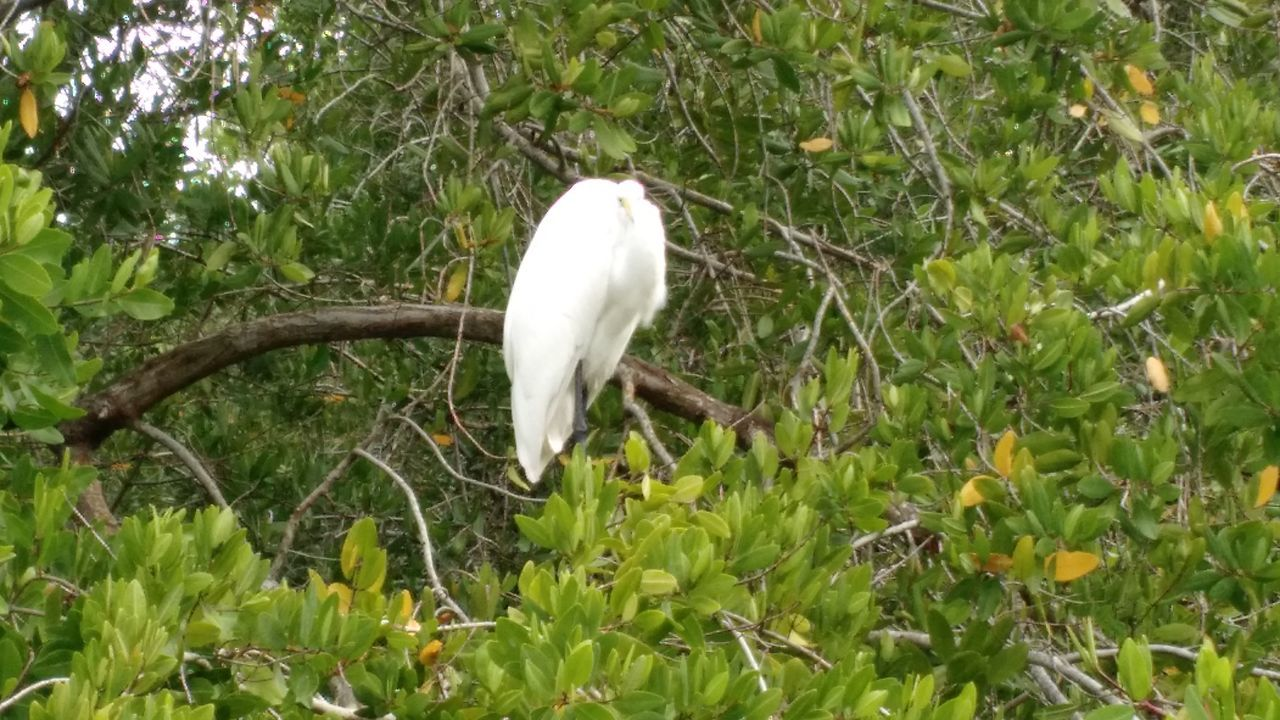 one animal, animal themes, white color, growth, nature, animals in the wild, plant, day, green color, animal wildlife, great egret, outdoors, field, bird, no people, tree, leaf, grass, beauty in nature, perching, mammal, close-up