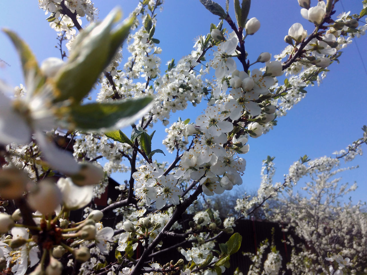 flower, tree, blossom, growth, fragility, nature, branch, beauty in nature, springtime, apple blossom, apple tree, low angle view, freshness, white color, botany, no people, day, orchard, twig, outdoors, petal, spring, close-up, clear sky, sky, flower head