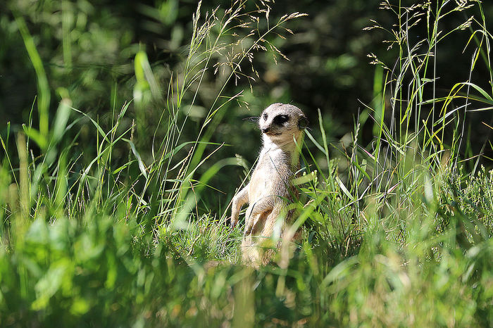Meerkat in the Grass Animal Themes Hiding Out Keeping Watch Meerkat Nature Outdoors Super Still Zoology Animals In The Wild So Cute Small Animal