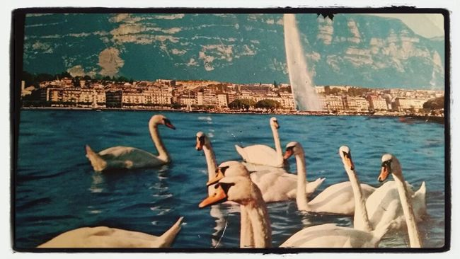 Hi! That's Me Taking Photos OF SWANS FROM LA RADE IN EAUX-VIVES