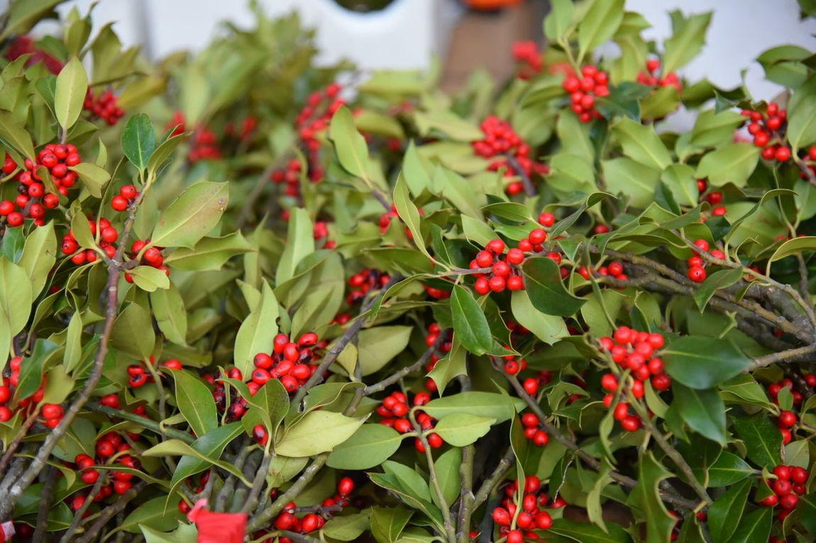 Ornamental Plant Merry Christmas🎄🎅🏻 Boas Festas E Um Feliz 2016. Noël Bon Nadal Feliz Navidad Merry Christmas Christmas Decoration