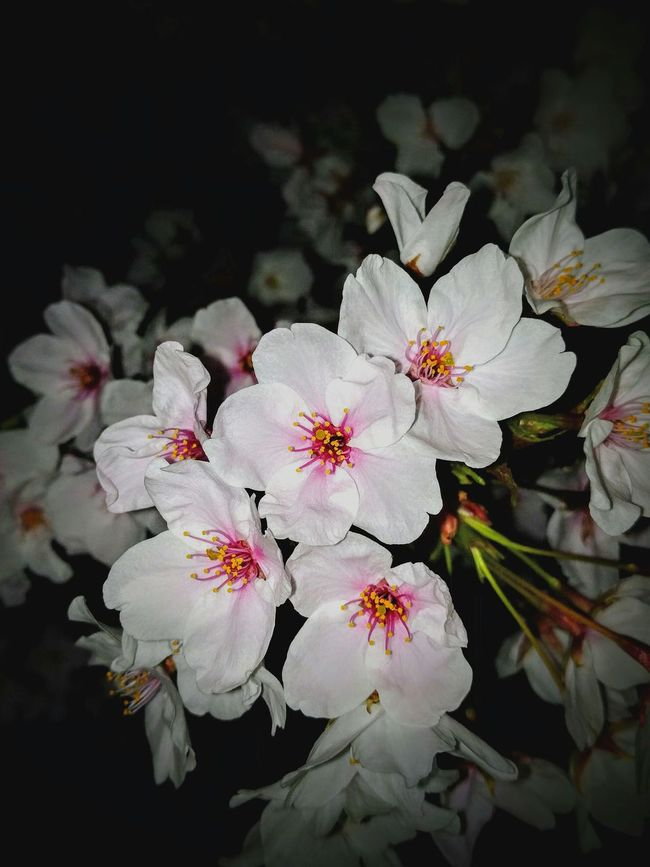 Cherry Blossoms Night Photography Eyem Natura Lover Eyem Flower_collection Night Jog Taking Photos Spling Has Come Flowers, Nature And Beauty This Night