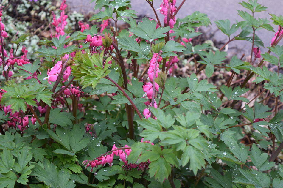 Beauty In Nature Bleeding Heart  Blooming Close-up Day Flower Flower Head Fragility Freshness Green Color Growth Leaf Nature No People Outdoors Pink Color Plant