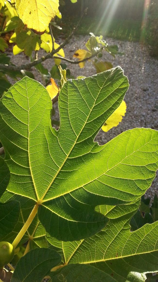 Summer Figtree Leaves Things That Are Green