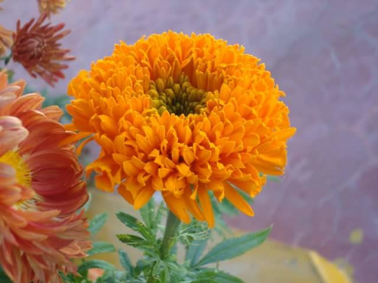 flower, beauty in nature, petal, fragility, nature, plant, flower head, close-up, freshness, growth, no people, outdoors, day, leaf, blooming, marigold