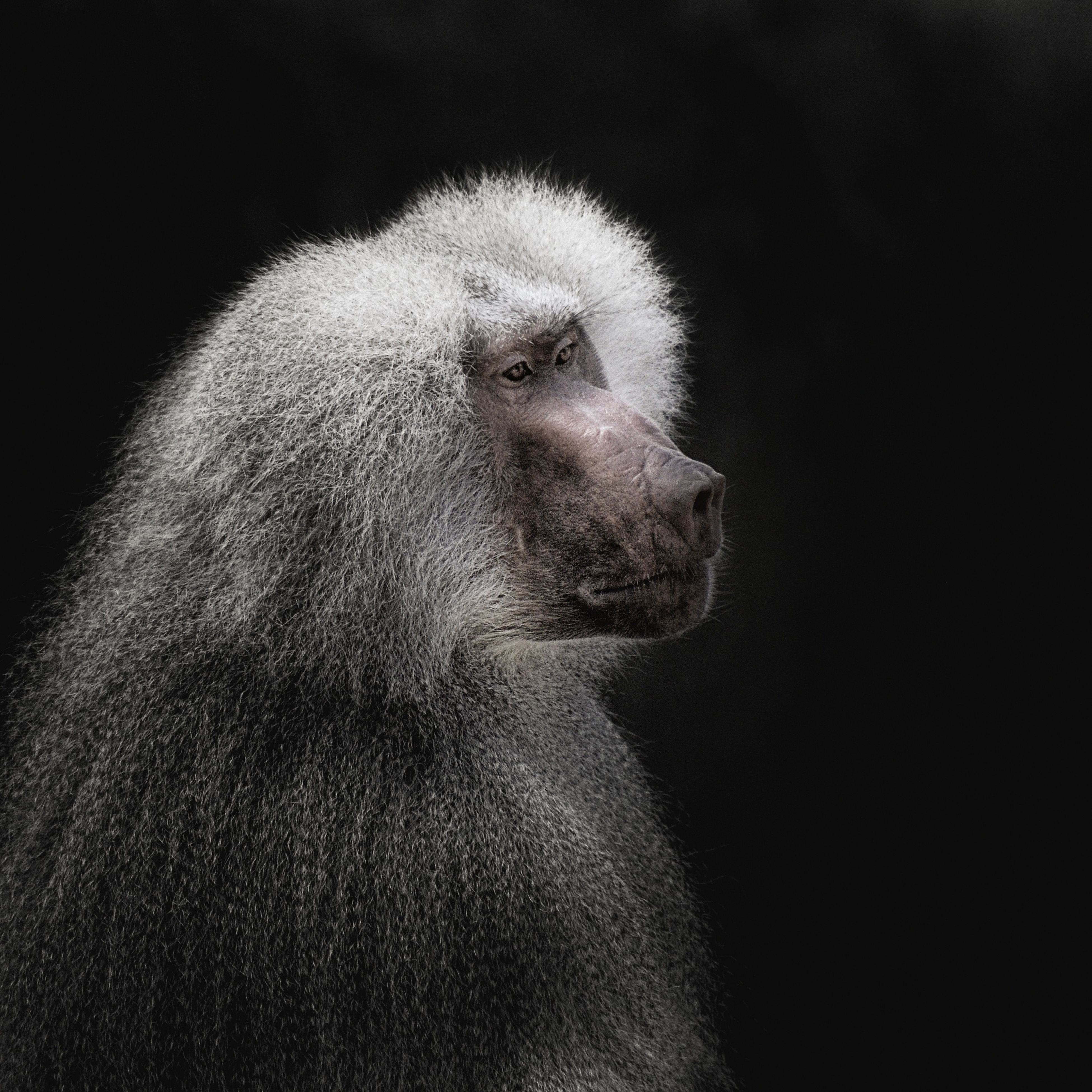 one animal, mammal, monkey, animals in the wild, baboon, animal wildlife, black background, no people, animal themes, nature, outdoors, close-up, day, japanese macaque