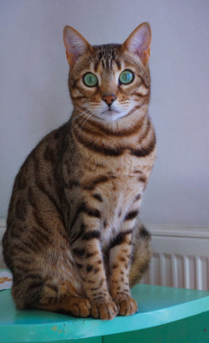 bengal cat - like a princess Eyes EyeEm Austria Cat Sony A6000 Sonyalpha Sony Bengal Cat Cat Close-up Eyes Princess Pets One Animal Feline Portrait Animal Themes Sitting Indoors  No People Looking At Camera