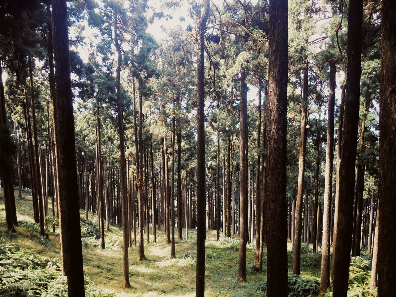 tree, forest, nature, tree trunk, woodland, pine tree, no people, landscape, day, scenics, outdoors, growth, wilderness area, beauty in nature