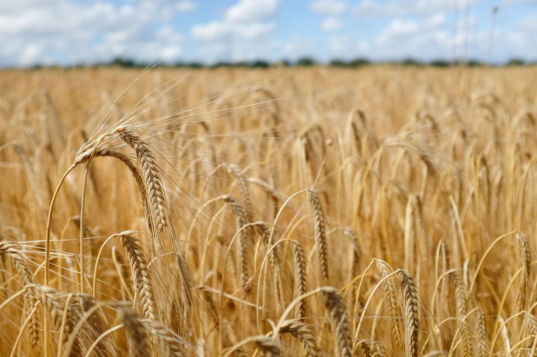 Close-up of barley field with blue sky Agriculture Arable Arable Farming Barley Barley Field Cereal Crops Crop  Growth Harvest Harvest Season Harvest Time Harvesting Landscape