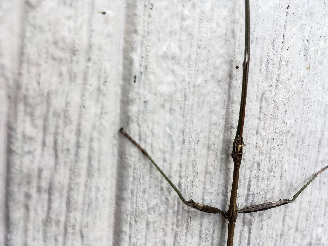 Eye Sees You Close-up Outdoors Walking Stick Bug Nature