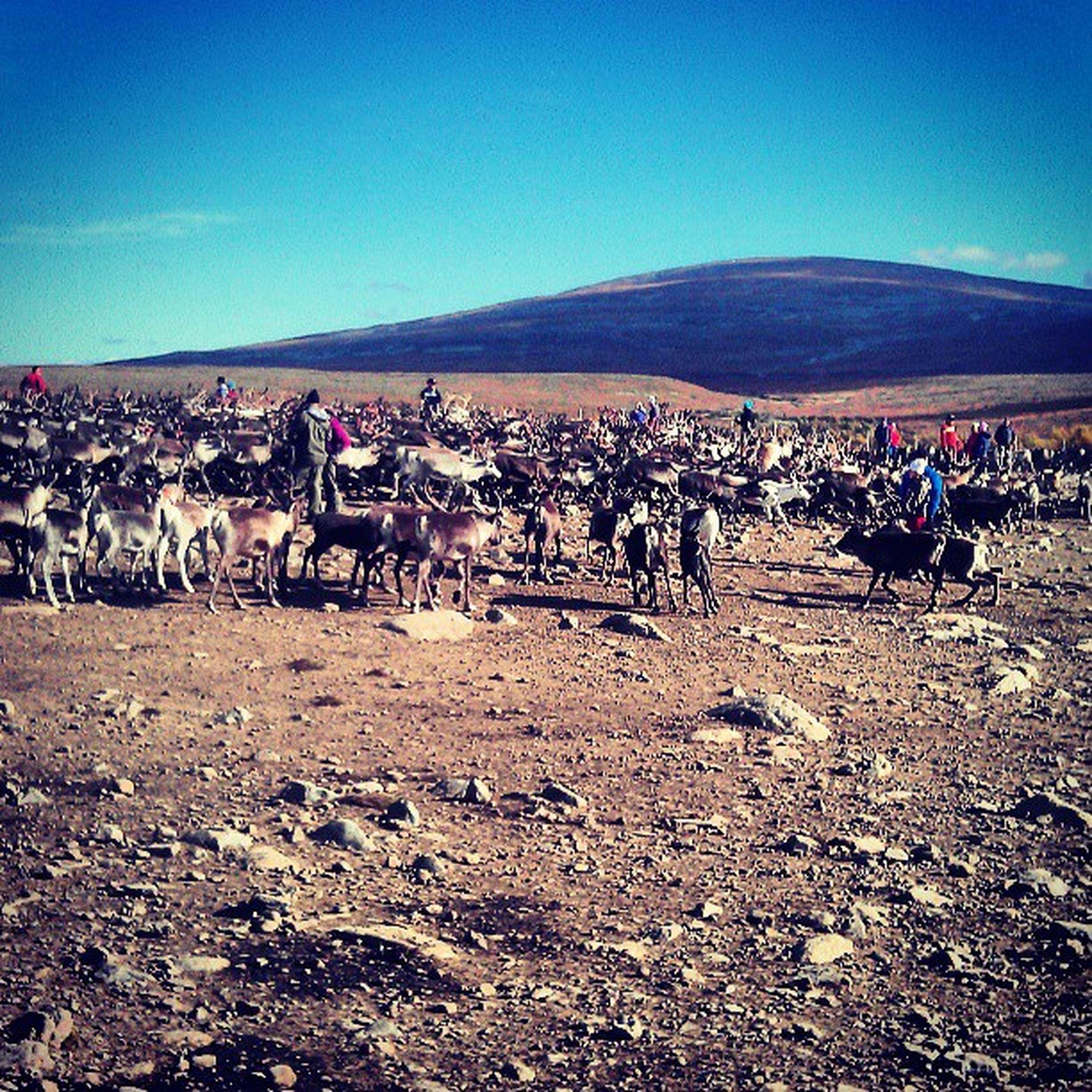 Jamtland Fjällen Samer Renar Sarvslakt Skådespel Reindeer Mountain Northernsweden Myamazingbackyard