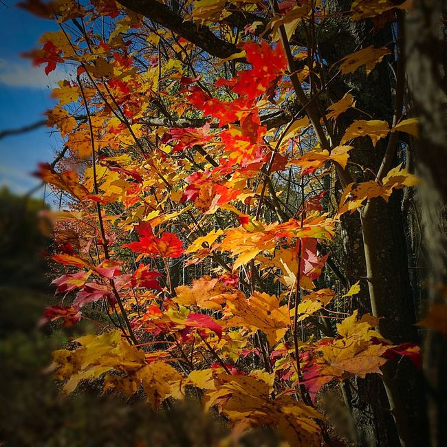 Tree Maple Autumn Orange Color Maple Leaf Woods Woods And Color Fall Beauty Fall Nature Tranquility No People Beauty In Nature Sky Low Angle View Close-up Autumn Autumn 2016 Michigan United States