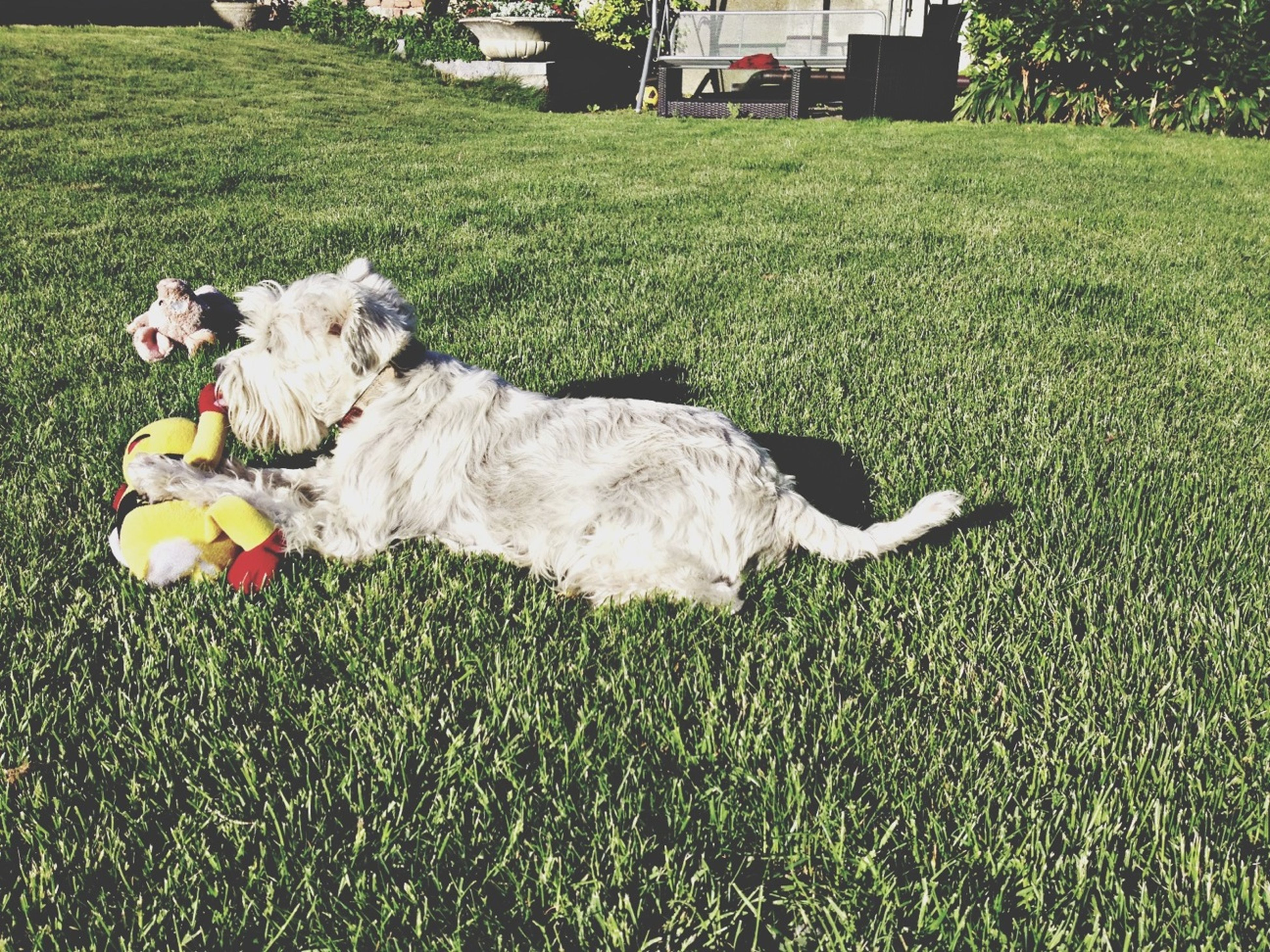 grass, animal themes, grassy, field, domestic animals, green color, one animal, lawn, mammal, dog, pets, grassland, park - man made space, nature, day, outdoors, relaxation, sunlight, full length, sheep