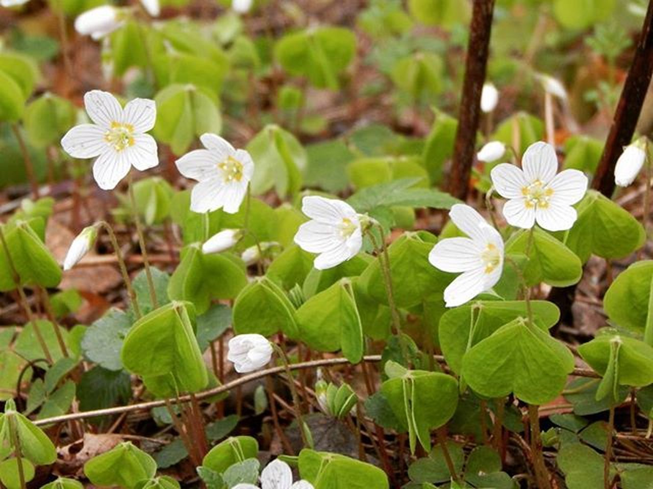 Zaķkāposti Spring Flowers Forest Macro Latvija Latvia Nature Spring Flowers Showcase April Eyem Best Shots EyeEm Best Shots Eyem Bestsellers