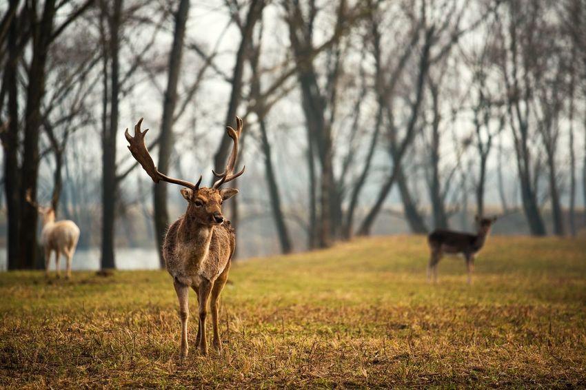 That's My Dear, Deer 🦌 Elk Moose Reindeer Reindeer Sighting Deer Deersighting Deer Hunting Deer Park Animal Wildlife Animals In The Wild One Animal Animal Animal Themes Outdoors Mammal Beauty In Nature EyeEmNewHere