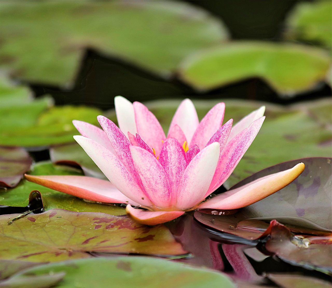 flower, beauty in nature, nature, lotus water lily, petal, water lily, growth, leaf, fragility, pink color, freshness, lotus, flower head, day, water, outdoors, plant, no people, close-up, floating on water, lily pad, lake