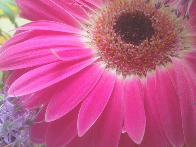 Gerbera Flower Gerbera Gerbera Daisy Pink Daisy Pink Close Up Photography Close Up Flower Head Flowers_collection EyeEm Nature Lover Flower Lover Soft Focus Softness