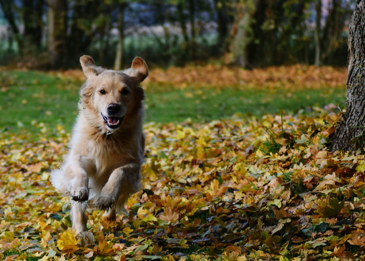 One Animal Animal Themes Looking At Camera Animals In The Wild Goldenretriever Golden Retriever Retriever Goldi Run Running Dog Dog Love Dog❤ Dogslife Dogs Of EyeEm Dog Playing Autumn Autumn Colors Herbst Herbststimmung