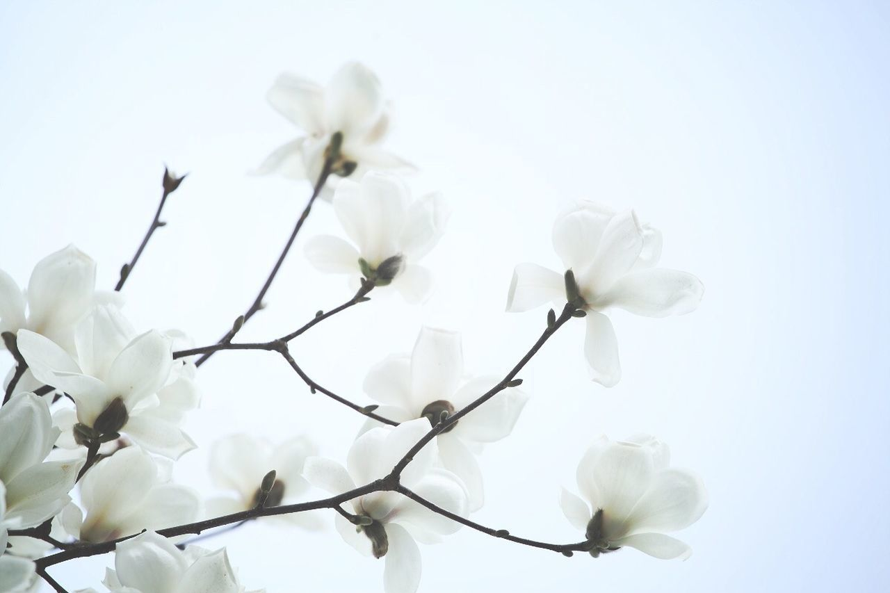 Beautiful stock photos of magnolia, Beauty In Nature, Blooming, Botany, Clear Sky