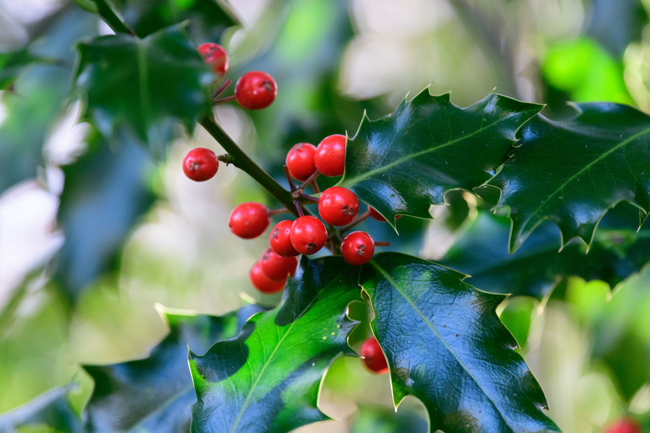 holly berries Berries Berries On A Branch Holly Winter Beauty In Nature Berries And Leaves Berries On Branch Berry Christmas Holly Holly Bush Prickly Prickly Leaves Red Berries Winter Wonderland