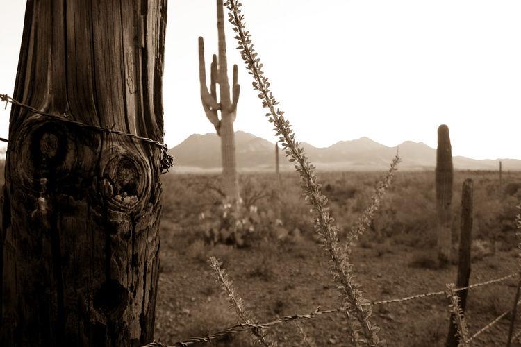 Arizona Barbed Wire Fence Ironwood Forest National Monument Landscape Ocotillo Outdoors Saguaro Sky Sonoran Desert Tranquil Scene Tranquility United States Photography Carnegiea Gigantea Fouquieria Splendens Tetanus