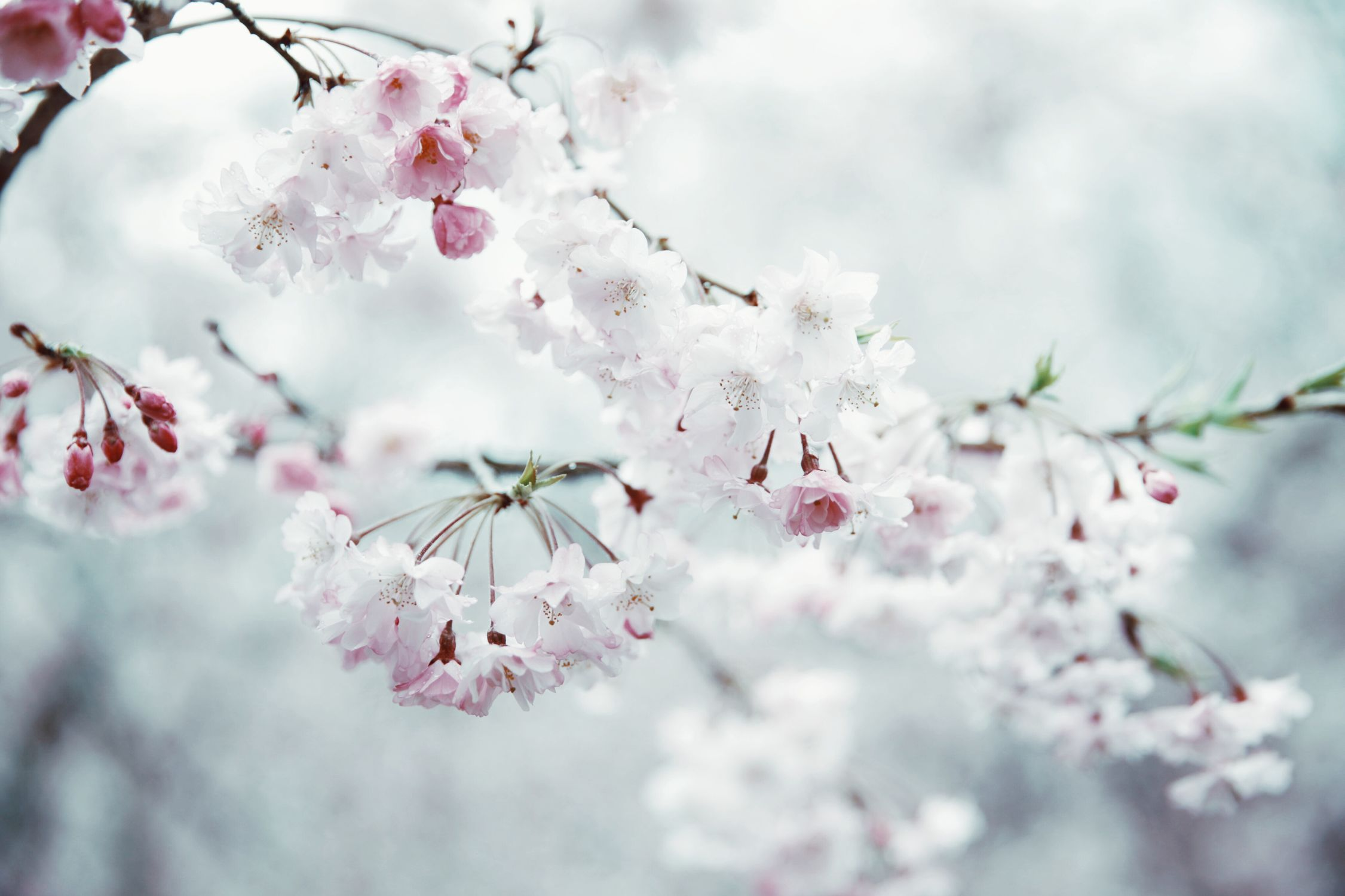 close-up focus on foreground flowers Hello world EyeEmNewHere flower blossom fragility beauty in Nature Cherry blossom springtime branch Growth Nature Tree cherry tree petal Freshness twig botany pink color no people
