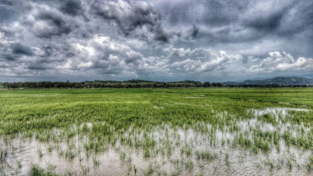 The feeding fields..... Agriculture Beauty In Nature Cloud Cultivated Land Day Field Grass Green Color Growth Horizon Over Land Idyllic Landscape Nature Non-urban Scene Outdoors Overcast Padi Scenics Sky Tranquility Weather Fine Art Photography Huaweimobilemy Showcase July Colour Of Life