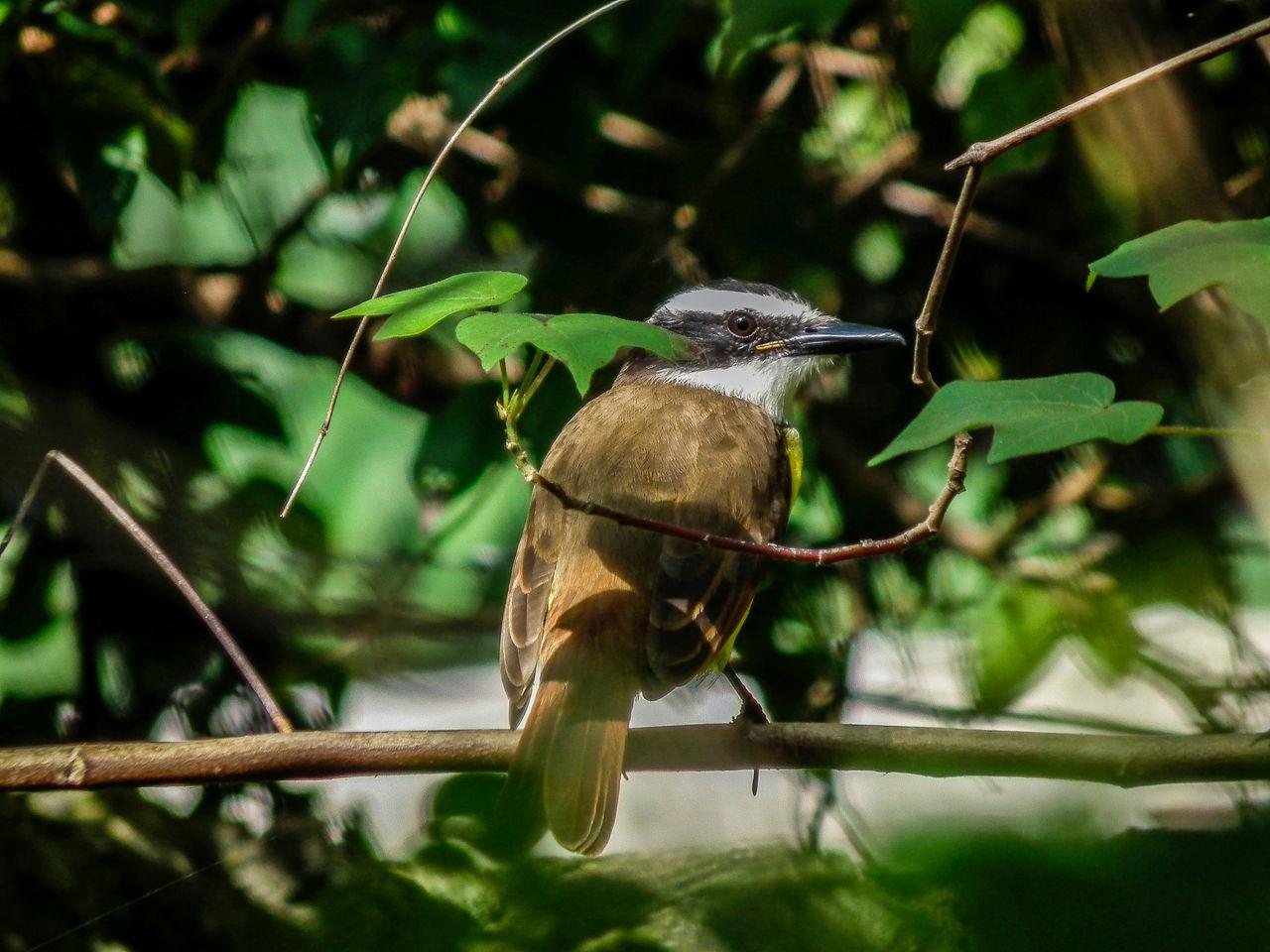 Great Kiskadee - Pitangus sulphuratus Bird Birdwatching Branch Day Great Kiskadee Nature Perching Pitangus Sulphuratus Wildlife Yucatan Mexico Yucatan Peninsula Yúcatan Zoology