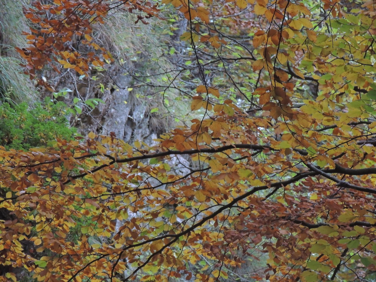 autumn, change, leaf, nature, tree, beauty in nature, branch, no people, maple tree, growth, tranquility, day, maple leaf, outdoors, maple, close-up, fragility, water