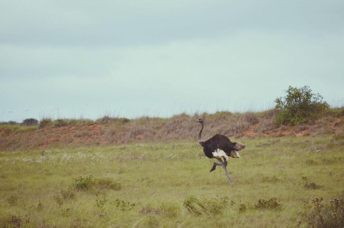 Ostrich Africa Shamwari Experience Internship Amazing Wildlife & Nature Naturelovers Nikon D5100  Travel Photography Beauty In Nature Game Reserve
