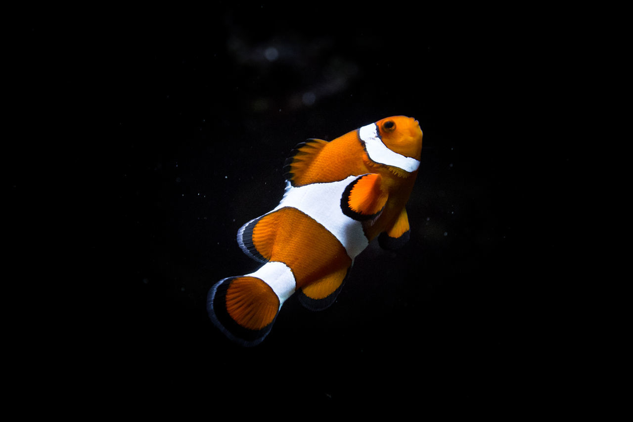 Beauty In Nature Black Background Close-up Clownfish Finding Nemo Fish Fishing Multi Colored Nature No People Orange Color Outdoors Pixar  SCUBA Scuba Diving Tranquility Underwater Wildlife Yellow