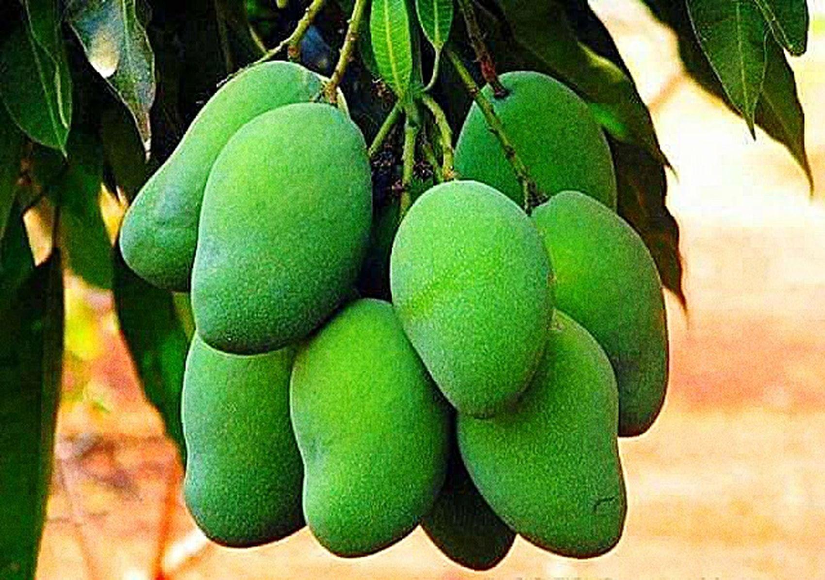 Green Mango Food Nature