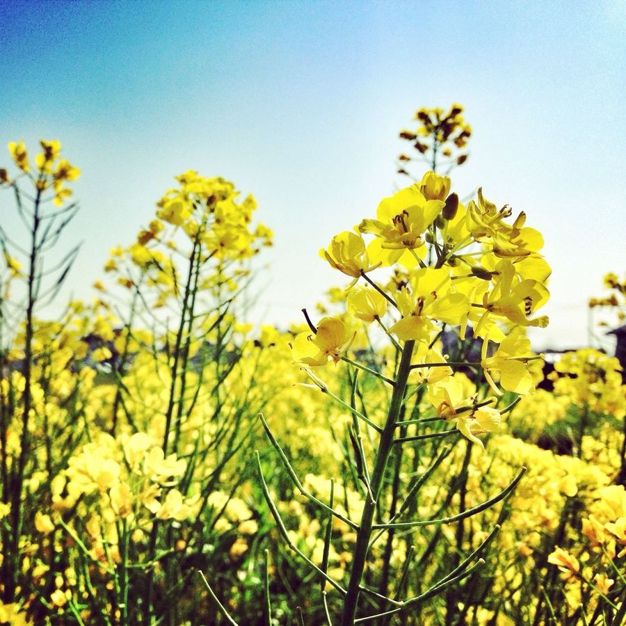 菜の花 Canolaflower