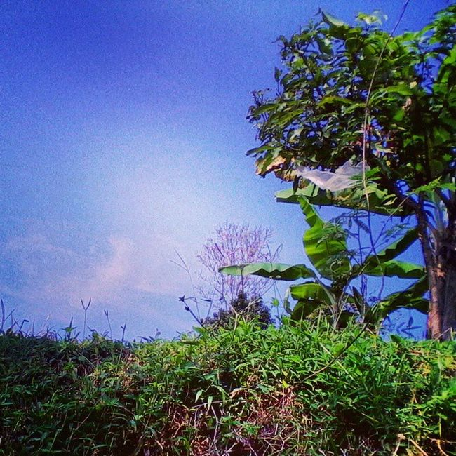 Ciawi nature Instasunda Igesworldwide Igers Instanusantara instadaily instaindonesia instamood instagood picoftheday photosoftheday nature green blue webstagram bestoftheday tree grass sky